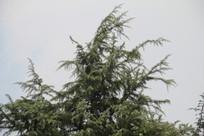 钱塘江旁高耸树枝