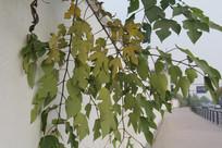 钱塘江旁墙壁上藤蔓