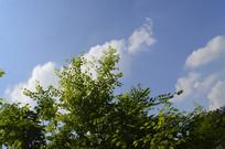 晴空下的白饭树