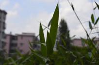 野生竹叶子剪影