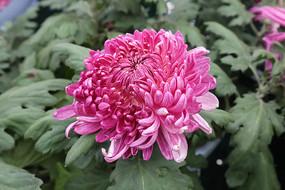 一朵盛开的菊花