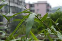 竹子叶和茎特写
