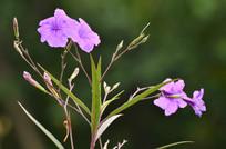 紫色小花花朵图片