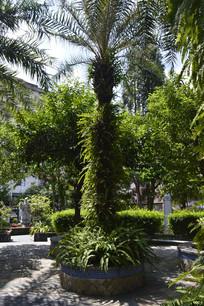 棕榈科美丽针葵