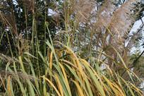 白塔公园芦苇与枝叶
