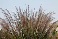 白塔公园随风飘荡的芦苇