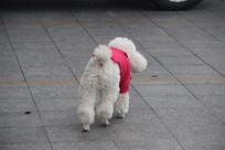 穿衣服的白色贵宾犬