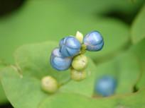 杠板归蓝色的果实