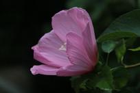 含苞未放的木槿花