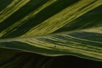 黄绿相间的花叶艳山姜
