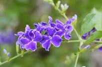 蓝紫色花朵台湾连翘