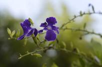 两朵蓝紫色假连翘