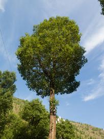 绿色的香樟树