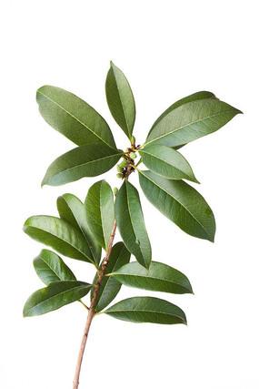 绿油油的桂花树枝叶图片