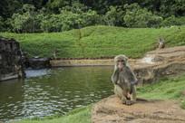 水边的猴子在吃东西