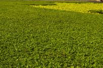 修剪后平整的绿色植物