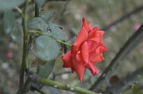 中型花朵红月季