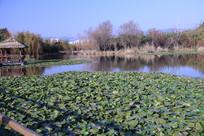 长满荷花的池塘