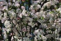 挂在枝头的樱花特写
