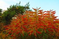 红色树叶绿色松树