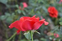 红色月季花背景图