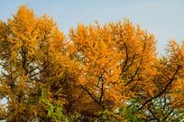 金色树木枝丫
