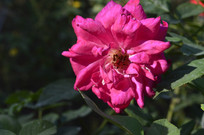 玫红色月季花背景图