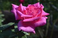玫红色月季花高清背景图