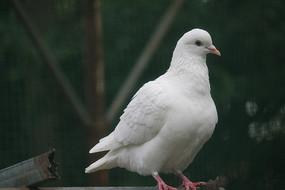 眼神专注的白鸽子