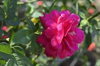 一朵大花玫红色月季花