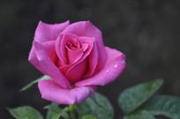 一朵娇艳动人的红色玫瑰花