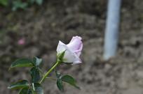 一枝含苞待放的淡粉色玫瑰花