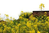 砖墙边油菜花
