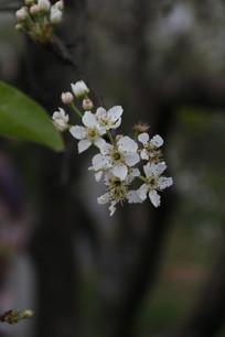 暗色背景下的一枝樱花