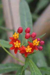 成簇盛开的马利筋花朵