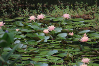 池塘开满粉色的睡莲