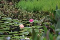池塘里粉色与枚红色的睡莲