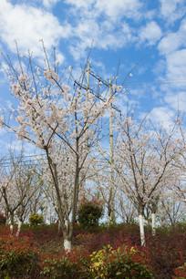 春天里的樱桃花