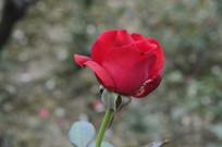 大红色玫瑰花
