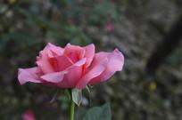 淡雅优美的粉红玫瑰花