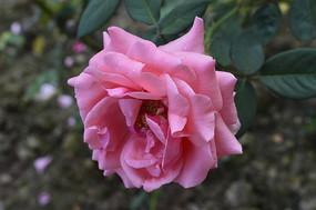 淡雅优美的粉红月季花