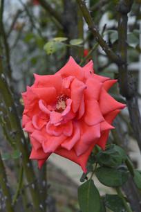 古老花卉品种月季花