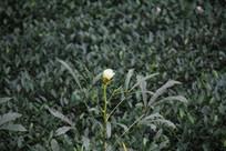 杭州龙井田内花朵
