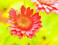 红色向阳花