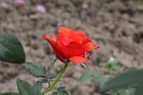 红艳美丽的玫瑰花