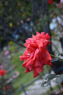 花瓣繁多的红月季
