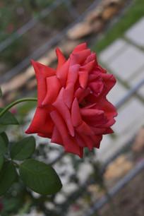 花朵大的红月季