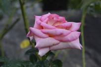 花朵较大的浅粉色花朵月季