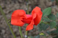 花小色艳的红玫瑰