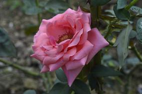 花姿淡雅优美的粉红月季